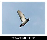 Kliknite na sliku za veću verziju  Ime:golub.jpg Viđeno:106 puta Veličina:50,6 KB ID:5892